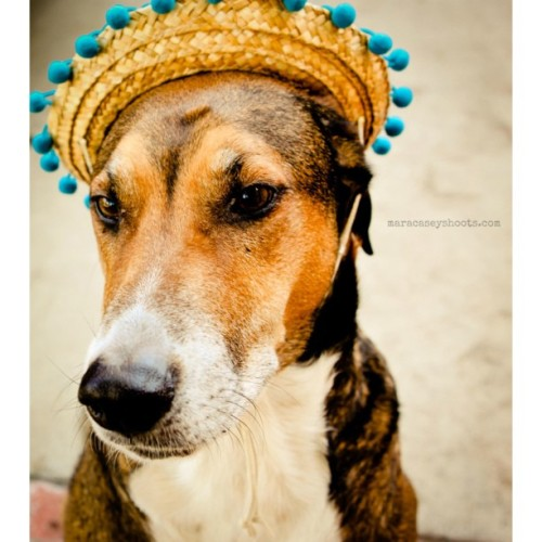 Cinco De Mayo with Frankie. #dogs #mutts #dogphotography #pets #weeklyfluff #iflmdog #dogoftheday #dogsoninstagram #lifeanddog