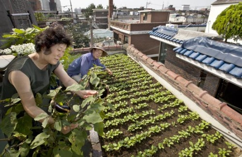 "koreaunderground:  Urban farms give city folk 'food sovereignty'  When Choi Chang-hwan, a 71-year-old retired oil company worker, wakes up every morning to sweet chirpings of sparrows, his top priority isn't turning the pages of the morning newspaper while waiting for breakfast, like other aged Korean men. After jumping out of bed, Choi goes straight to the rooftop of his two-story house in Junghwa-dong, northeastern Seoul, to check the progress of his homegrown vegetables.""There's nothing like planting a seed, nurturing it and harvesting it,"" Choi said. ""It's amazing to see how vegetables go from my roof to my table. I water them every day and feed them with compost. The seeds sprout and the vegetables grow beautifully.""Choi said he needs to check his crops every morning to make sure seeds and vegetables aren't attacked by sparrows, pigeons or bugs.""I don't use harmful pesticides,"" he said. ""I use a small metal pincer to pick bugs off the crops. It's a lot of work, but it's worth it."" Choi is just one of a growing army of urban farmers in Korea. While urbanites groan under food prices that never seem to stop rising, due to the higher cost of transport or the freaky weather conditions that are increasingly common, a potential solution for anyone with a rooftop or a balcony is to move the farm to the heart of the city. That's what more and more city dwellers are discovering. Urban farming is springing up in spaces all over Korea's cities, including abandoned lots, weekend community gardens, rooftops and plastic containers on apartment balconies. Experts are predicting that urban farming isn't a mere fad as more Koreans see the virtues of food sovereignty due to agflation and rising concerns over food safety. Green in the cityUrban farming has been catching on in other developed countries including Germany, England, Japan and the United States. According to a report by the Ministry for Food, Agriculture, Forestry and Fisheries, Germany has 1 million small city farms, while England has 300,000, Japan has 3,000 and New York City is home to 600. The ministry said the urban farming phenomenon is also slowly becoming mainstream in Korea. While there's no concrete data, the ministry estimates that over 700,000 city dwellers grow vegetables as a hobby in metropolitan areas. Among those 700,000 people, 153,000 are in Seoul, the ministry said.Considering that Seoul, the biggest city in Korea, has a population of 10.5 million, that means that 7 percent of Seoul citizens are partaking in urban gardening.  read more at http://koreajoongangdaily.joinsmsn.com/news/article/Article.aspx?aid=2941546"