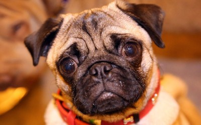 Dylan the Pug poses at the London Pet Show 2013.  Picture: REX FEATURES