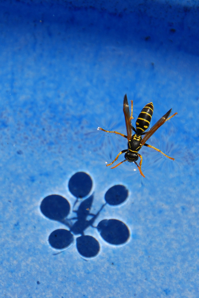 jtotheizzoe:  freshphotons:  Surface Tension.  Curious how this sorcery happens? You bet you are. An insect like a wasp or a water strider can rest atop the water, held up by surface tension. This means that the cohesive force of the water molecules sticking to each other is stronger than the force of the bug being pushed down by gravity. This works because it spreads its weight out over a large surface area (like snowshoes). That creates a slight indentation in the top of the water, changing the direction that the light coming down is refracted and re-directing it slightly sideways (that's where the bright halos around the dark areas come from). And what's the absence of light?  A shadow. All those words in picture form: