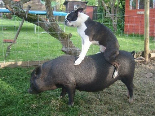 animals-riding-animals:  dog riding pig