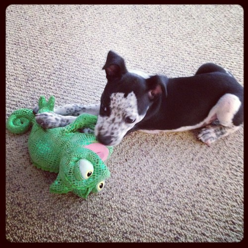 Marley loves his Disneyland souvenir! 🐶🐸❤ #tangled #pascal #spoiledpuppy