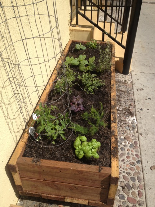 "The Cheap Vegan Vegetable Garden I recently started my first ever vegetable garden. My dad had always grown vegetables but I usually just enjoyed the fruits of his labor. Now that I'm living in LA I want to take advantage of the sun and grow some greens of my own. Since I'm in the city, we don't have garden space in my apartment complex. I asked my landlord if I could put a planter out and he happily agreed. He even helped me build it!  To build a planter you need treated wood (to keep bugs from eating it) and some long nails that are really hard to hammer in… I wish I could say that I was a great builder and I did it all on my own, but without help I probably would have just ended up buying a bunch of pots and laying them in a row on a shelf.  Once I had the planter, I filled it with dirt and an organic alternative to Miracle Grow (ask the people at the nursery for a suggestion). CHEAP VEGAN WARNING: Don't be too cheap of a vegan, refrain from getting free dirt on Craig's List as tempting as free dirt sounds (does free dirt only sound tempting to me?) The problem with free dirt is you don't know what seeds or plant diseases are already in it, you could be using dirt full of weeds and you'll only know once you are already too invested to start over. Next, you need to pick out some plants. This will depend on the time of year you are planting, the climate you live in, and the size of your garden. For example, my dad suggested that I get some carrot seed and sprinkle it around the garden. That would be a great idea in Spring time on the East coast, but not in LA. Be sure to ask your garden supply store what works best in your climate. If you go to a good local nursery the guys there are sure to be a rich source of information, talk to them! In LA, this time of year, in a planter, these were the plants I decided to grow:  Tomatoes Basil Orange Wax Peppers (seeds) Purple Basil Rosemary Oregano Thyme Bush Beans (like green beans) Cucumbers Eggplant (seeds) Cilantro There is some science to plant placement. Some plants do better/worse planted next to each other. This is called ""companion planting"". Basil and Tomato for example work well together. The basil deters certain bugs from eating the tomato plant. Here is a chart of some good and bad companion plants. I'll be keeping you posted on how the garden grows and the tricks and tips I learn along the way."
