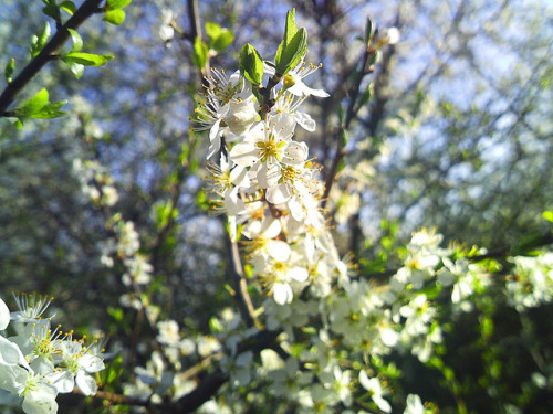 White blossom on Flickr.