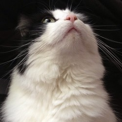 telemosquito:  Llama shows off her glorious fluffy neck! ✨ #cat #catsofinstagram #llamacat #mycat