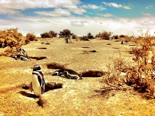 Magellanic Penguins off the coast of Argentina. Punta Tomba.  thefreshsite.com