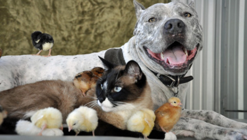 Texas woman's pets are a YouTube hit Sharky the pit bull and Max-Arthur the cat are famous on the Web for their unlikely friendships and adorable antics.