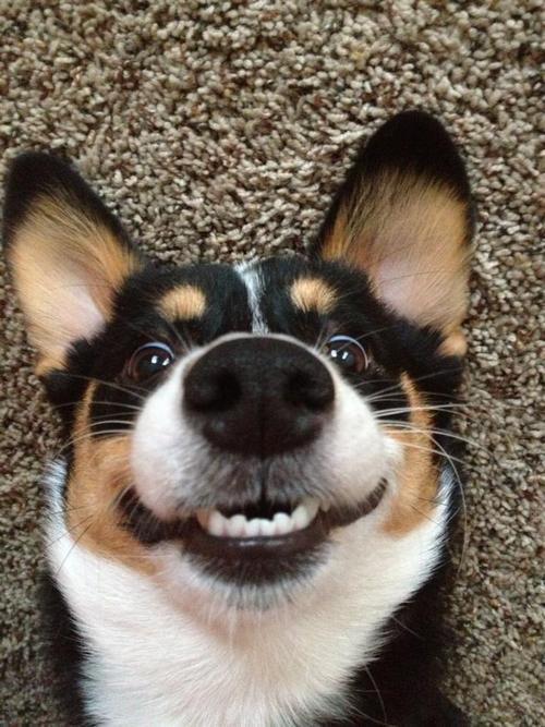 aplacetolovedogs:  corgiaddict:  Violet cheesin' for the cameras Submitted by Katy  Violet's amazing smile won over 11,000 hearts.