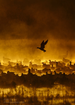 earth-song:  Fire in the mist by ~AForns From Bosque Del Apache NM With the proper conditions which usually consists of a warm day followed by very cold temperatures. Shooting straight into the sun, the rising mist appears to be on fire Full frame vertical shot with Mk2n 500 f4.0