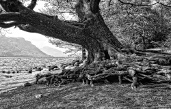 Ancient Lakeside Tree Ullswater, Cumbria. UK.