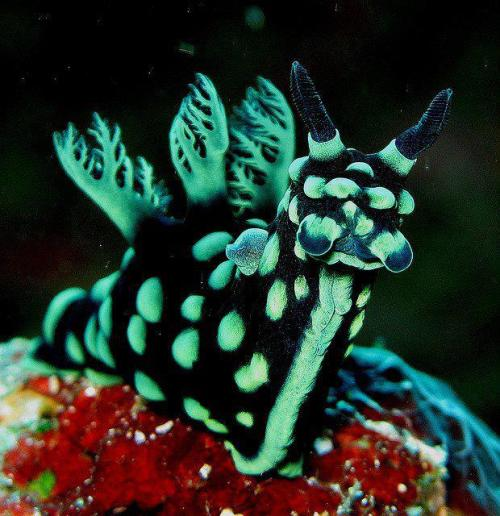 lizardking90:  Beautiful Nudibranch <3 -Evolution fb page