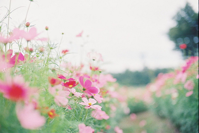 arquerio:  コスモスの道 by fumib on Flickr.