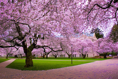 Cherry Blossoms, Seattle, Washington photo via jillian
