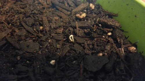 Our red and yellow heirloom tomatoes are sprouting!