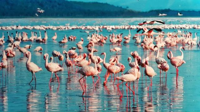 There are few places in the world where you can witness 1.5-million flamingos in their natural habitat. Lake Nakuru in Kenya is a world-famous location for viewing one of the greatest bird spectacles on Earth. The myriad of fuchsia pink flamingos feeds on the abundant algae in the lake, which thrives in the warm waters. Flamingos ideal biome typically occurs in the rainy season, between November and May, which makes this the best time to see these spectacular birds. DM or email me today to book your next trip to Kenya. #kenya#lakenakuru#flamingos#flamingolake#beautifuldestination#travel#adventure#vacationplanning#amluxurytravel#amtravelagency