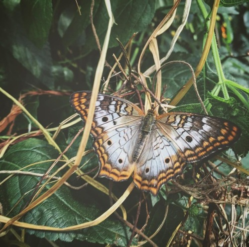 """ghostsiren: """"Beautiful butterfly at the zoo today. Be sure to check my story for new updates! """""""