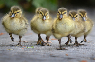 sdzoo:  Reservoir ducks by Ion Moe Baby ducklings with attitude take to the streets at the San Diego Zoo.