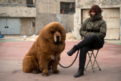"mothernaturenetwork:  Photos of the day: Tibetan mastiffs A very fluffy adult Tibetan mastiff sits patiently on a leash with its handler during a mastiff show. Although it is called a mastiff for its size, this is technically a misnomer perpetuated by early Western visitors to the Himalayas. Since it is not a true mastiff, a more appropriate name for this breed would be a ""Himalayan mountain dog."" See more mastiff photos — including some adorable puppies!"