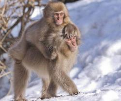 funnywildlife: Snow Monkey Metro!!