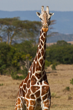_MG_0439 Giraffe by gramrgb on Flickr.