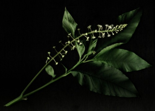 Botanicals: Common pokeweed (Phytolacca americana). Please click to enlarge.