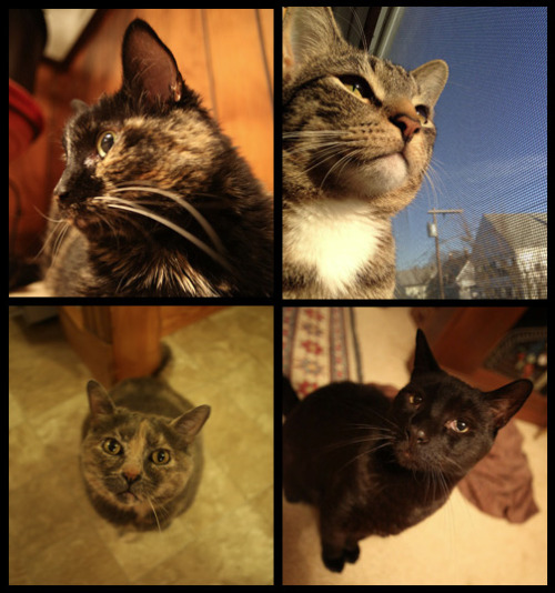 my cats. clockwise from the top left: Ewok, Felix, Isaac, and Jargon.