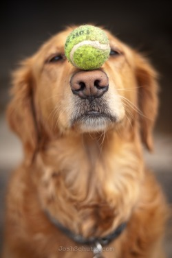 1n-famous:  This is why Goldens are the best dogs