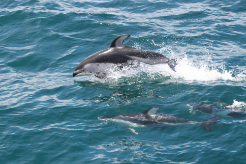 deepblueseawhales:  Pacific white sided dolphins (by SRKWs)