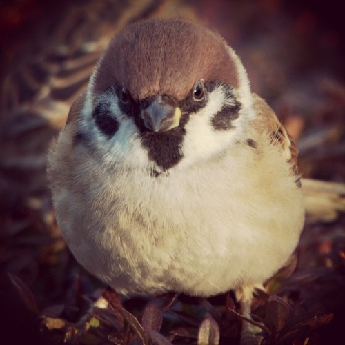 Sparrow #japan #tokyo #bird #birds #Sparrow #Nature  #webstagram #photooftheday