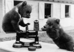 weareallprostitutesandjunkies:  Two brown bear cubs from a litter of triplets born at Whipsnade Zoo, Bedfordshire playing with the scales at their first weight check. The 4-lb cubs have been transferred to the children's zoo, where they delight the visitors.