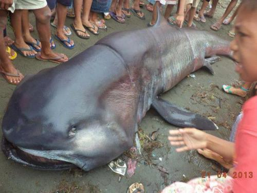 mad-as-a-marine-biologist:  This megamouth shark was fished in the Philippines on April 21, 2013. The megamouth shark (Megachasma pelagios) is an extremely rare species of deepwater shark, so rare that only over 50 sightings have been recorded since its discovery in 1976.  Of the now 56 megamouth sharks recorded worldwide, 11 specimens (20%, most numerous next to Japan) come from the Philippines. The megamouth is the smallest of only three filter-feeding sharks (the others being whale sharks and basking sharks).  Photo from CJ Fives for Butuan Bay Divers.