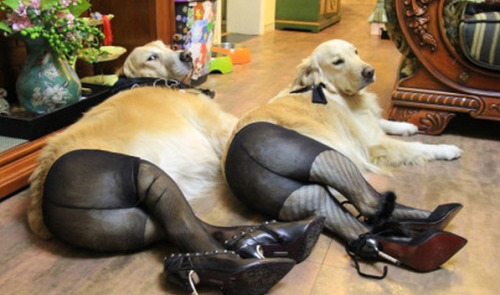 laughingsquid:  Dogs Wearing Pantyhose, A Popular New Meme in China  Horrifying