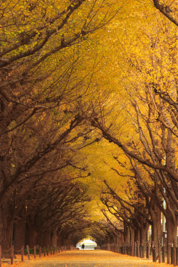 the-absolute-best-photography:  senerii:Ginkgo Trees (By mrhayata) You have to follow this blog, it's really awesome!