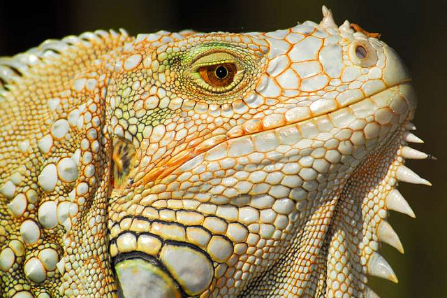 our-lips-locked:  Iguana Head Shot, Palm Beach Zoo, Florida, US by masinka on Flickr.