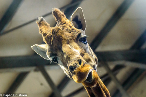 Giraffe close-up by ~esbr~ on Flickr.