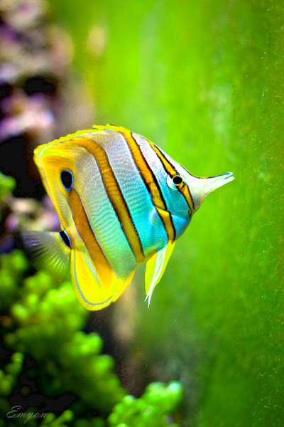 packlight-travelfar:  Butterflyfish on green by Emyan on Flickr.