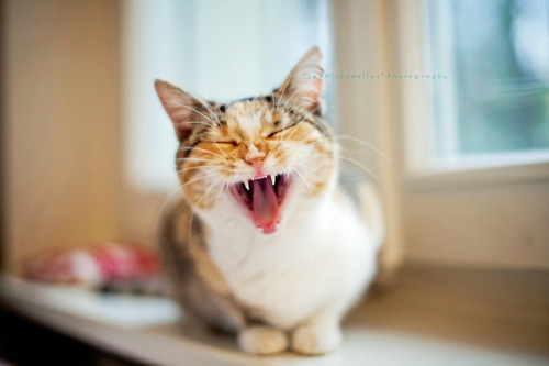 89cats:  Yawning…or roaring? by *Les Hirondelles* Photography on Flickr.
