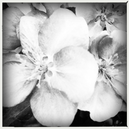 Crabapple blossoms in black & white.