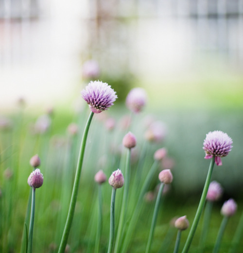 Chives by *December Sun http://flic.kr/p/egeqne