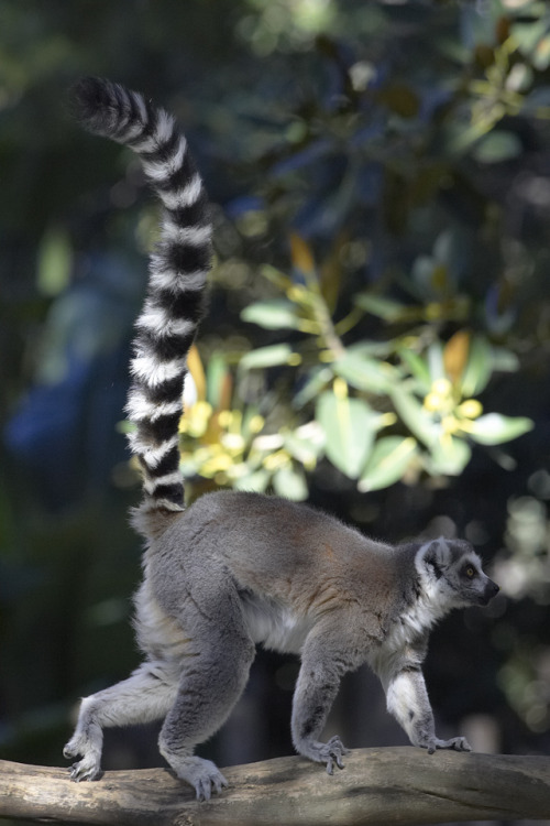mystic-revelations:  Ring-tailed lemur (by Official San Diego Zoo)
