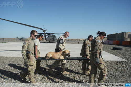afp-photo:  AFGHANISTAN, Ghazni : US soldiers from the 10th Combat Aviation Brigade and a Polish soldier (C) carry a dog on a stretcher from a UH-60 Black Hawk medevac helicopter during a training drill at Forward Operating Base Ghazni on May 17, 2013. US-led coalition forces are winding down their operations before a scheduled withdrawal of the bulk of their 100,000 troops by the end of 2014, and racing to prepare Afghan forces to take over responsibility for security.. AFP PHOTO/Dibyangshu SARKAR