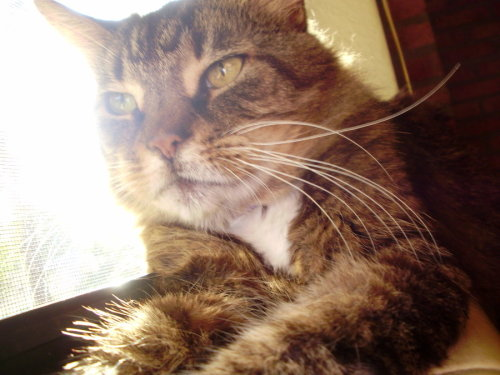 the-tea-cup-life:  R.I.P Samantha Peggy Mayor .She was a beautiful cat , Sadly my neighbor across the street had the pound come an get her for being in his yard. She was really really old , and the pound put her down before I could get her back . :(( I will love an miss you very much . My pets are not pets they are family .  That's horrible! Sue them!