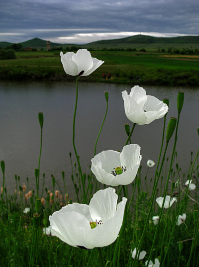 gyclli:  White poppies photographer: Mariana Stefanova