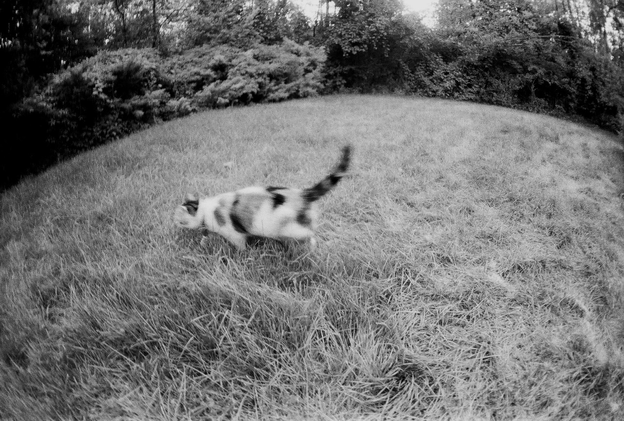 Cat Hunts and Honors Prey in Ancient Ritual of Mystery and Death | Nikon F2A w/ Sigma 16mm F2.8 Fisheye | Ilford XP2 | Focus Photo (Ann Arbor) | http://wakartist.tumblr.com