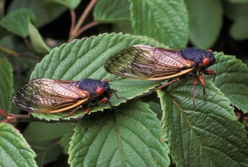 The cicadas in the genus Magicicada  … are the species known for their spectacular mass emergences every 13 or 17 years. Magicicadas occur in distinct populations, called broods, and each brood is on its own 17-year cycle. This year the show will take place along the east coast of the US, from New York south to North Carolina - corresponding to Brood II. Next year it will be Brood III's turn, a smaller population primarily contained in Iowa and western Illinois. In all there are twelve 17-year broods and three 13-year broods, and nearly every year at least one brood, somewhere, will be emerging.  In fact, the next year *without* any mass cicada emergence will be 2022. Fortunately, despite their appearance and noisiness, cicadas are generally harmless. Adult cicadas feed on plant sap, and females lay their eggs in the stems of plants, but even these mass emergences rarely do lasting harm to plants. The emergence only lasts 4-6 weeks, while the adults find mates and lay eggs, after which they die. Photo by U.S. Department of Agriculture  (via: Peterson Field Guides)