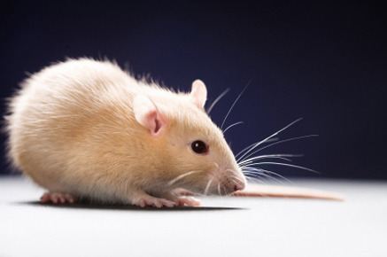 "Socially Isolated Rats are More Vulnerable to Addiction Rats that are socially isolated during a critical period of adolescence are more vulnerable to addiction to amphetamine and alcohol, found researchers at The University of Texas at Austin. Amphetamine addiction is also harder to extinguish in the socially isolated rats. These effects, which are described this week in the journal Neuron, persist even after the rats are reintroduced into the community of other rats. ""Basically the animals become more manipulatable,"" said Hitoshi Morikawa, associate professor of neurobiology in the College of Natural Sciences. ""They're more sensitive to reward, and once conditioned the conditioning takes longer to extinguish. We've been able to observe this at both the behavioral and neuronal level."" Morikawa said the negative effects of social isolation during adolescence have been well documented when it comes to traits such as anxiety, aggression, cognitive rigidity and spatial learning. What wasn't clear until now is how social isolation affects the specific kind of behavior and brain activity that has to do with addiction. ""Isolated animals have a more aggressive profile,"" said Leslie Whitaker, a former doctoral student in Morikawa's lab and now a researcher at the National Institute on Drug Abuse. ""They are more anxious. Put them in an open field and they freeze more. We also know that those areas of the brain that are more involved in conscious memory are impaired. But the kind of memory involved in addiction isn't conscious memory. It's an unconscious preference for the place in which you got the reward. You keep coming back to it without even knowing why. That kind of memory is enhanced by the isolation."""