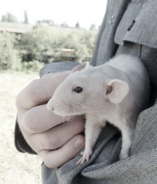 rats-of-mischief:  When it's nice out I like to take a rat out with us when we walk the dog. This is Avalon and her fuzzy butt enjoying the time outside.