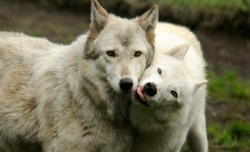 wolves-only:  Puppy love! <3