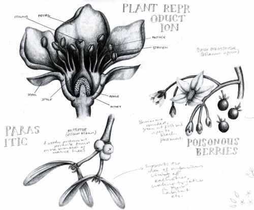 hazel-morgan:  Illustrations in pencil of the reproductive system of a plant, black nightshade, and mistletoe. Terrible quality scan from my sketchbook. © Hazel Morgan
