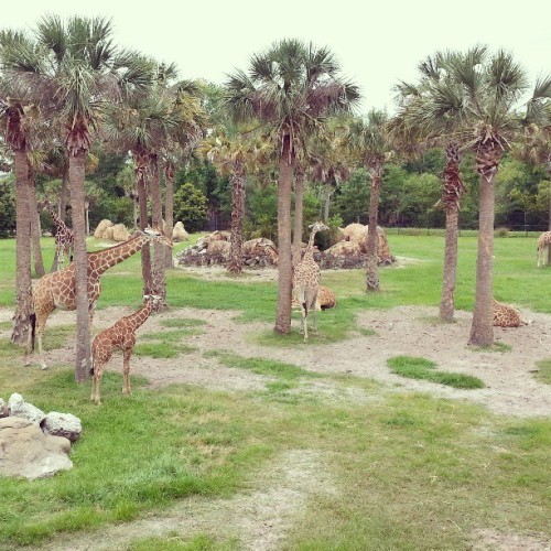 So many giraffes #zoo #Jacksonville